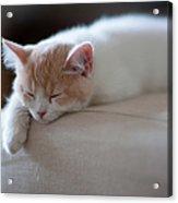 Beige And White Kitten Sleeping On Acrylic Print