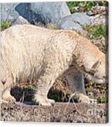 Beige Colored Polar Bear Acrylic Print