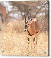 Beisa Oryx Orxy Beisa Acrylic Print
