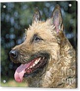Belgian Laekenois Dog Acrylic Print