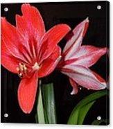 Belladonna Acrylic Print
