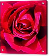 Belle Rose Rouge Acrylic Print