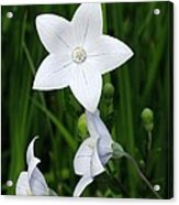 Bellflower - Campanula Carpatica Acrylic Print