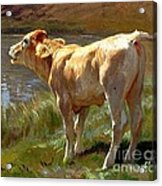 Bellowing Cow Acrylic Print
