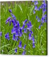 Bells In The Grass Acrylic Print