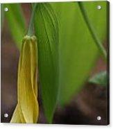 Bellwort Or Uvularia Grandiflora Acrylic Print