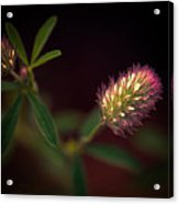 Below The Flower Line Acrylic Print