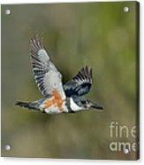 Belted Kigfisher Female Flying Acrylic Print