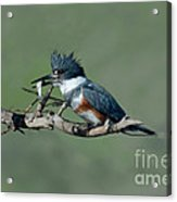 Belted Kingfisher Hen With Fish Acrylic Print