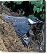 Belted Kingfisher Leaving Nest Acrylic Print