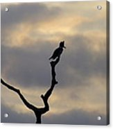 Belted Kingfisher Acrylic Print