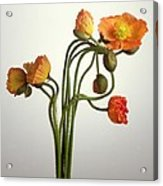 Bendy Poppies Acrylic Print by Norman Hollands