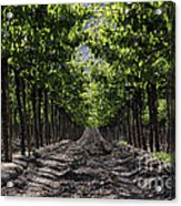 Beneath The Vines Acrylic Print