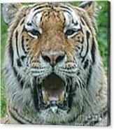 Bengal Acrylic Print