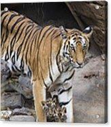 Bengal Tiger And Cubs Bandhavgarh Np Acrylic Print