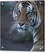 Bengal Tiger Acrylic Print by Brenda Schwartz