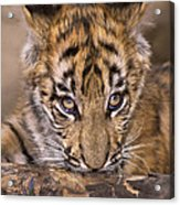 Bengal Tiger Cub And Peacock Feather Endangered Species Wildlife Rescue Acrylic Print
