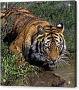 Bengal Tiger Drinking At Pond Endangered Species Wildlife Rescue Acrylic Print