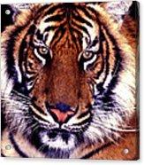 Bengal Tiger Eye To Eye Acrylic Print