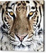 Bengal Tiger Eyes Acrylic Print