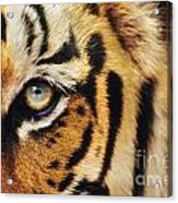 Bengal Tiger Face Acrylic Print