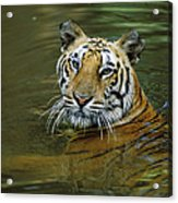 Bengal Tiger In Water Native To India Acrylic Print