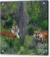 Bengal Tigers On Grassy Hillside Endangered Species Wildlife Rescue Acrylic Print