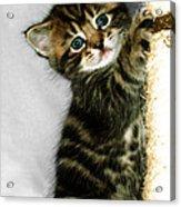 Benny The Kitten Playing Acrylic Print
