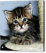 Benny The Kitten Resting Acrylic Print