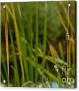 Bent Grass Variation In Nature Acrylic Print