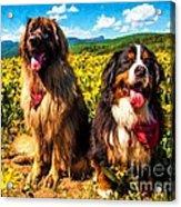Bernese Mountain Dog And Leonberger Among Wildflowers Acrylic Print