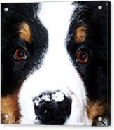 Bernese Mountain Dog - Baby It's Cold Outside Acrylic Print