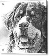 Bernese Mountain Dog Pencil Portrait Acrylic Print
