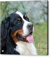 Bernese Mountain Dog Portrait Acrylic Print