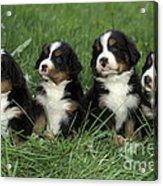 Bernese Mountain Puppies Acrylic Print