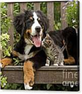 Bernese Mountain Puppy & Kitten Acrylic Print