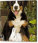 Bernese Mountain Puppy And Rabbit Acrylic Print