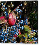 Berries And Red Leaves After The Rain Acrylic Print