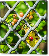 Berries And The City - Featured 3 Acrylic Print