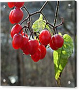Berries In Winter Acrylic Print
