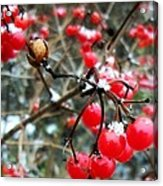 Berry Cold Outside Acrylic Print