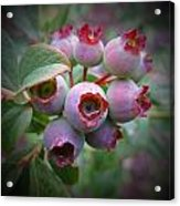 Berry Unripe Acrylic Print