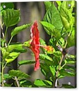 Best Close-up Green Hummingbird On Red Hibiscus Flower. Acrylic Print