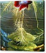 Betta Fish Moby Dick Acrylic Print