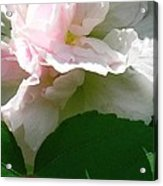 China Rose 2 Acrylic Print