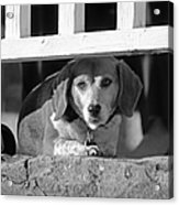 Beware - Guard Beagle On Duty In Black And White Acrylic Print by Suzanne Gaff