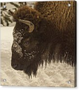 Beware Of The Bison Acrylic Print