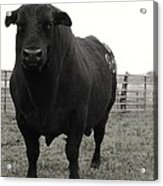Big Bad Black Bull Acrylic Print