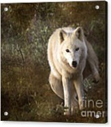 Big Bad Wolf Sprinkling The Grass Acrylic Print