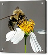 Big Bee Acrylic Print